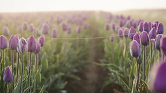 the strands that forever connect us (manyfires) Tags: flowers field strand sunrise golden spring tulips spiderweb tulip magichour woodenshoetulipfestival