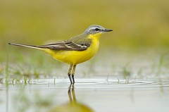 Blue-headed wagtail (Motacilla flava) (m. geven) Tags: man male bird nature water animal yellow fauna spring call singing song wildlife natuur ground veer april lente geel dier longtail avian vogel oiseaux songbird avifauna lied gelderland zang grond voorjaar zingen poel breedingplumage motacillaflava nld regenwater pluim bedreigd roep weidevogel passerine threatened roepen zangvogel waterplas redlist sierlijk fluiten gelekwikstaart blueheadedwagtail specanimal summerbird zomergast schafstelze bouwland rodelijst lowpointofview zingend meadowbird akkervogel gracieus rodelijstsoort zomervogel broedkleed redlistspecies langestaart bergeronetteprintanire plasdras rodelijstnederland subspflava nederlandthenetherlandsniederlande bergeronetteprintanire territoriun laagstandplunt