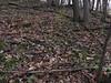 Snow Trillium colony (Trillium nivale) (Aeranthes) Tags: trillium nivale snowtrillium trilliumnivale