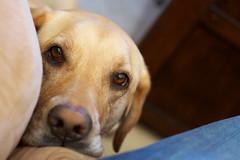 Pathetic Attention Seeker (giantmike) Tags: dog sad emotion nala pathetic canonef50mmf18ii needsattention wantstoplay