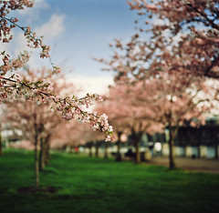 on the pink-blossomed bough of memory (manyfires) Tags: pink film oregon mediumformat square portland spring branch blossom bokeh hasselblad bloom pacificnorthwest sakura pdx cherrytrees waterfrontpark hasselblad500cm