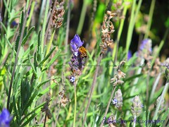 BEE IN LAVENDER  (2) ... (elbetobm thanks for + 2.600.000 views.) Tags: flowers flores art del america canon uruguay is shot working violet lavender powershot bee lavander sur dolores violeta workman sudamerica lavanda in sx130