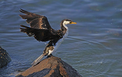 Pied Cormorant : Just flapping . . . (Clement Tang ** Busy **) Tags: nature wildlife victoria birdwatcher portphillipbay flappingwings stkildapier piedcormorant phalacrocoraxvarius autumnmorning closetonature avain dryingwings concordians