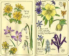 March 16, 2012 flowers (sandyw2410) Tags: flowers iris spring crocus penandink watercolorpencils aconite lentenrose