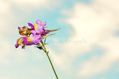 Rara flor... (MaRuXa fotografía) Tags: canon flor rosa galicia cielo nubes maruxa