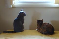 Millie & Gracie 7 June 2012 9596bf 4x6 (edgarandron - Busy!) Tags: cats cute cat gracie feline tabby kitty kitties tabbies millie graytabby patchedtabby