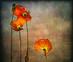 IMG_1220 Mohn (ENOU2011) Tags: pictures flowers les gallery image virtual poppies et shining perfection amateurs supreme mohn coquelicots simplybeautiful fineartgallery artdigital pavots contemporaryartsociety artmix duarja atouchofmagic thebestgallery darkwood67 mailexchangepaperart artandphotographygroup artedeluz magicuniverse magicunicorntheverybest magicunicornmasterpiece earthnaturelove textureinfinitebook persephonesgarden imageexcellent drt blackgroupno6 texturemyworld matsgalley pavotesetcoquelicotspoppies moonseclipseworkofart sarasgarden goldenmysticflowershighquality simlysuperb copperclaudsilvernsun kurtpeisergallery naturauchabstakt