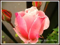 rose bud (josszilla) Tags: flowers roses macro closeup watch knights cannon railings lamborghini plasticsoldiers yellowperil reventon gallardolp5604 murcielagolp6704sv modelcarslambos