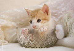 20110724_19167b (Fantasyfan.) Tags: pink pet baby cute glass animal topv111 furry kitten tabby small posing fluffy tiny jar curious fantasyfanin pelko highqualityanimals siirretty