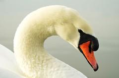 White Swan 1 (Stephen Whittaker) Tags: nikon d5100 whitto27