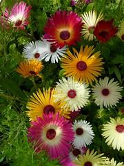 mesembryanthemums (suesviews) Tags: summer multicoloured mesembryanthemum cheerful 2012 loveliness rainsodden