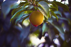 Peach (redaleka) Tags: blue light summer tree green nature beauty yellow fruit one spring focus branch dof bokeh branches peach lonely leavesleaf
