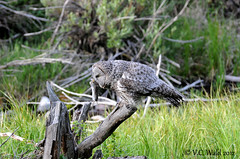 Great gray owl with freshly caught vole (still wiggling) (V. C. Wald) Tags: nikon greatgreyowl greatgrayowl vole grandtetonnationalpark strixnebulosa moosewilsonroad