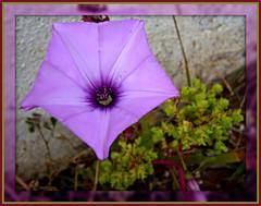 Parachute! ('cosmicgirl1960' NEW CANON CAMERA) Tags: park travel flower nature garden spain mauve costadelsol andalusia waterdrops morningglory puertobanus yabbadabbadoo worldflowers