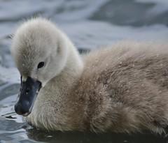 Mute Swan Cygnet (Charles Dawson) Tags: bird swan cygnet muteswan lliswerrypond alwaypond