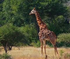 Girafa (anacm.silva) Tags: africa wild nature animal southafrica mammal nikon wildlife natureza giraffes giraffe krugernationalpark girafa krugerpark kruger mamífero áfrica vidaselvagem girafas áfricadosul anasilva