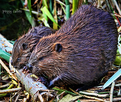 Mother and Baby Beaver (Peggy Collins) Tags: rodent britishcolumbia beaver pacificnorthwest sunshinecoast beavers babyanimals castorcanadensis babybeaver peggycollins beaverfamily marshanimals motherandbabyanimal beaverchewing babybeaverandparent