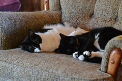Fred and Sweety (Vegan Butterfly) Tags: family cats cute animal cat chair sleep adorable siblings together cuddle rest