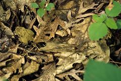 TR5 11v01A (RAStr) Tags: usa animal animals wisconsin  snake culebra co rptil serpent crawford reptiles schlange serpents reptil timberrattlesnake cascavel crotalus horridus serpiente cobras cascabel vbora rpteis schlangen klapperschlange rettile reptilien serpientes serpentes vipre crotales   klapperschlangen    rettil serpent  cascavis sonnettes serpenti sonagli serpente