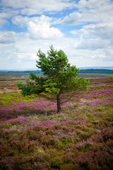 Tree on moor (stafford.boy66) Tags: sky tree landscape countryside nikon purple cloudy heather yorkshire scenic moor nikon2870mmf28 nikond700