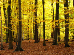 Autumn in the Beech Forest (Habub3) Tags: wood travel holiday plant color tree fall nature leaves yellow forest canon germany deutschland buchenwald search reisen flora europa europe stuttgart urlaub laub