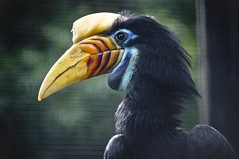 Hornbill (larryn2009) Tags: california bird fall animal female zoo sandiego unitedstatesofamerica september 2012 sandiegocounty aceroscassidix knobbedhornbill redknobbedhornbill sulawesiwrinkledhornbill sandiegosafaripark