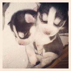 ลูกหมาฮัสกี้ น่ารักจุงเบยยยยยย Cr.เพจHuskyในเฟสบุ๊ค #puppy #husky #siberianhusky