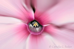 A look inside (Cornelia G.Becker (soulll59)) Tags: pink flower macro closeup germany deutschland flickr foto blossom details pflanze picture rosa bild blume makro blte bilder alpenveilchen zimmerpflanze soulii59 soulll59 corneliagbecker