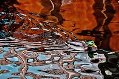 Drunken duck! (Giraldo.) Tags: reflection art water beauty duck colorful concept sourrealism