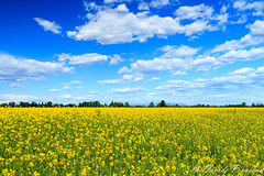 Campagna friulana (piove83) Tags: flowers blue summer sun flower love nature beautiful beauty weather yellow clouds sunrise outdoors twilight day yellowflower campagna fiori aprile mothernature cloudporn friuli photooftheday 2014 flowerlovers skylovers titiano flowerstagram naturevibes