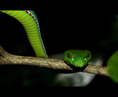 Pope's Pitviper (Ajith ()) Tags: life india macro nature earth snake pit viper meghalaya pitviper trimeresurus garohills popespitviper popeorum trimeresuruspopeorum