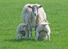 Ewe and lambs (Tim Green aka atoach) Tags: two sheep lambs ewe