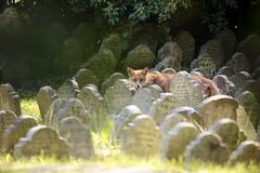 Cimitero degli animali: volpe (falco di luna) Tags: london londra animali cimitero volpe animalidacompagnia cimiterodeglianimali