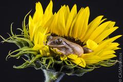 Tree frog (sfrancis23) Tags: black flower macro tree green yellow blackbackground studio petals eyes nikon flash sigma amphibian frog gerbera 400s 180mm elinchrom offcameraflash 180mmmacro strobist d810
