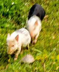Geraci walk pigs (alh1) Tags: italy holiday walking sicily boar atg piglets footloose gangitogeracisiculo