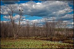 Sur un arbre perchs / Perched on a tree (Jeanluc Verville) Tags: mangrove crows marais corneilles