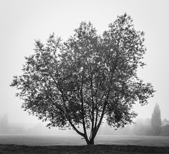 Misty Tree (Rob Jennings2) Tags: blackandwhite mist monochrome square squareformat bracknell wildridings