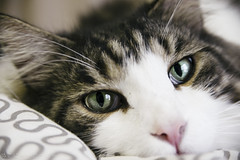 There's a clear bluish greenery sky inside my eyes? (miyukiz4 su ood) Tags: cat kitten gatinho gatito ktzchen chaton  coth coth5 gttino