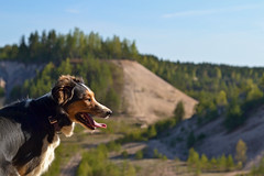 DSC_1646T (juliannahiaasen) Tags: portrait dog pet dogs animal training photography bordercollie australianshepherd dogphotography dogtraining dogportrait dogphotographer