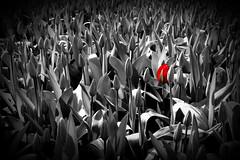 One (Bruno MATHIOT) Tags: red black flower color fleur canon rouge eos noir tulips outdoor sigma desaturation splash 1770 parc selective tulipe hollande 650d partiel