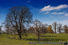 2016-05-04-058 (Andy Beattie Photography) Tags: uk england nature landscape mammal photography europe photographer wildlife yorkshire deer fallowdeer halifax ungulate northyorkshire westyorkshire ripon eventoed pecora damadama hoofed andybeattie andybeattiephotography