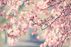 Be happy!  It drives people crazy :) (Sandra H-K) Tags: flowers tree nature outside outdoors spring soft dof pastel branches blossoms may depthoffield softfocus serene springtime