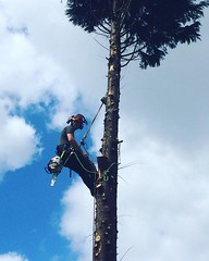 "Sunday funday! 2 conifers and 1 pine removal today working with @dan_jeanes and Adam #wardenstreecare <a style=""margin-left:10px; font-size:0.8em;"" href=""http://www.flickr.com/photos/137723818@N08/26939037312/"" target=""_blank"">@flickr</a>"