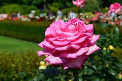 Pink Rose 2016 (Yasuz) Tags: park pink flower nature rose garden   gyoen  shinjyuku  2016   springrose
