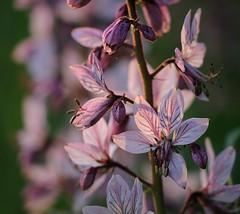 20160517-005F (m-klueber.de) Tags: flora weiser albus 2016 dictamnus rutaceae unterfranken maintal europische mainfranken diptam rautengewchse mitteleuropische mkbildkatalog zitrusgewchse 20160517 20160517005f