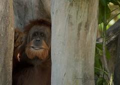Can you see me now? (marykpics) Tags: orange sumatra rainforest borneo orangutan ape solitary greatape arboreal specanimal