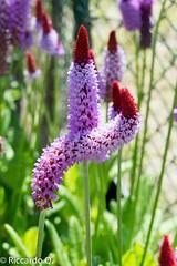 _DSC9228.jpg (Riccardo Q.) Tags: macro fiori fiore altreparolechiave floreka