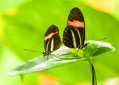 It Takes Two! (paulapics2) Tags: colour macro green nature insect leaf wings pattern bright butterflies together mating canon5d proboscis conjoined heliconiusmelpomene postmanbutterfly sigma105 tropicalwings