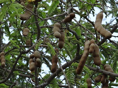 Tamarind, Imli. Sub Tropical Fruit. Karachi, Pakistan. 2016 (yusuf a. dadabhoy) Tags: pakistan brown fruit punjab sour karachi sindh tamarind imli