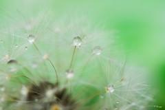 Rainy pearls (Fab Boone Photo) Tags: macro bokeh nature close closeup drop green dandelion flower fabienboone fabboone